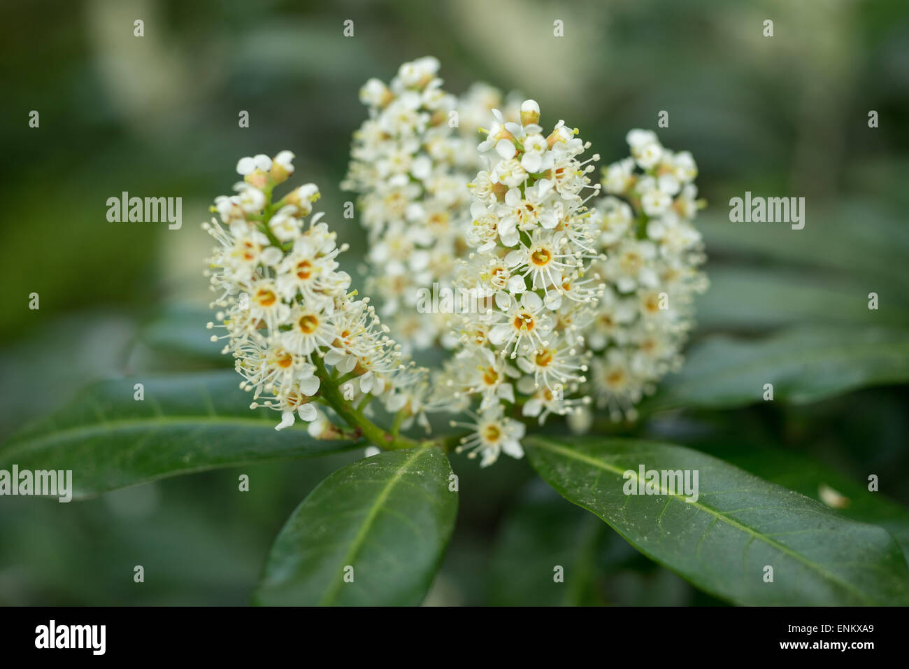 Cherry laurel white spring blossom Prunus laurocerasus - Stock Image