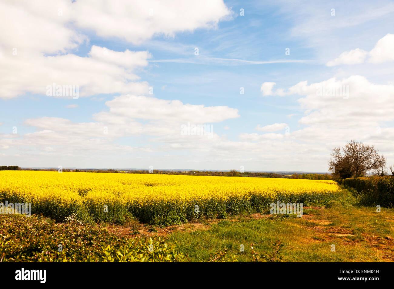 Oil seed rape field yellow flowers blue sky lincolnshire crop crops oil seed rape field yellow flowers blue sky lincolnshire crop crops mightylinksfo