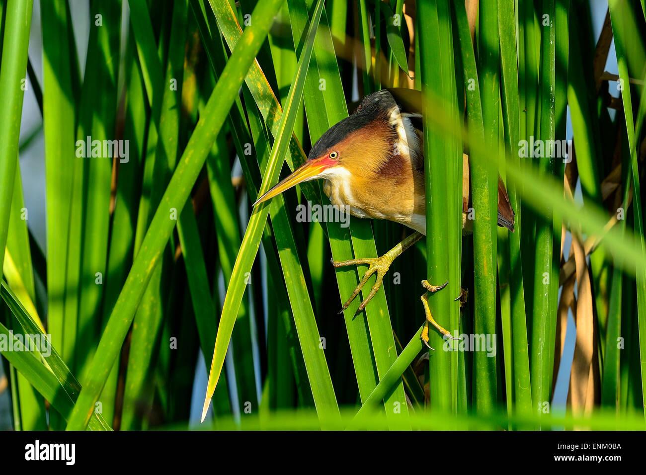 least bittern, viera wetlands Stock Photo