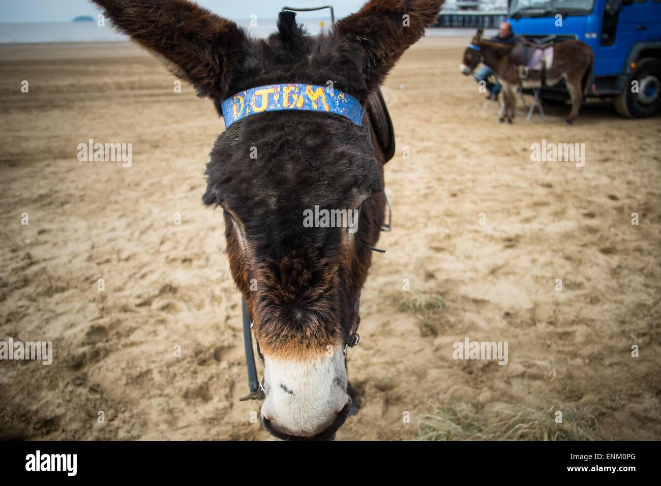 donkey at weston super mare - Stock Image