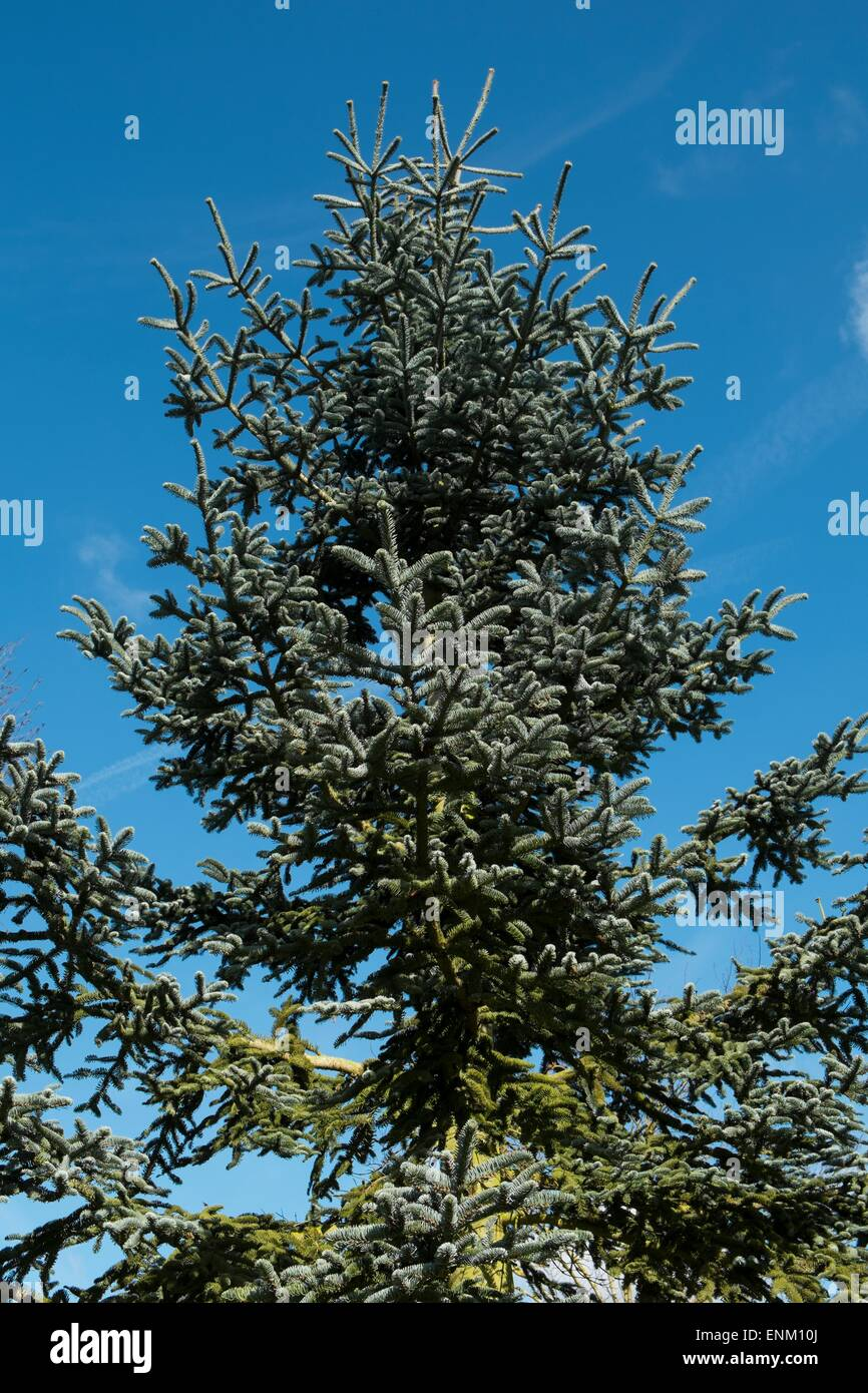 Conifer - Abies procera 'Glauca' Stock Photo
