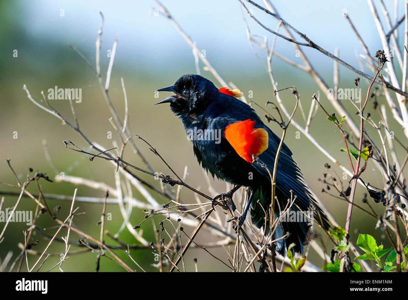 agelaius phoeniceus, red-winged blackbird, viera, florida - Stock Image