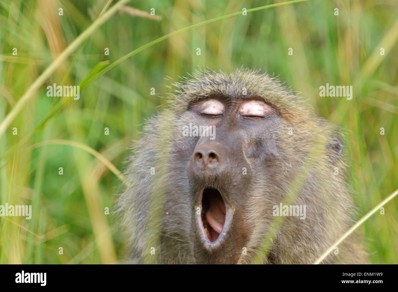 Image result for Akagera baboons monkeys
