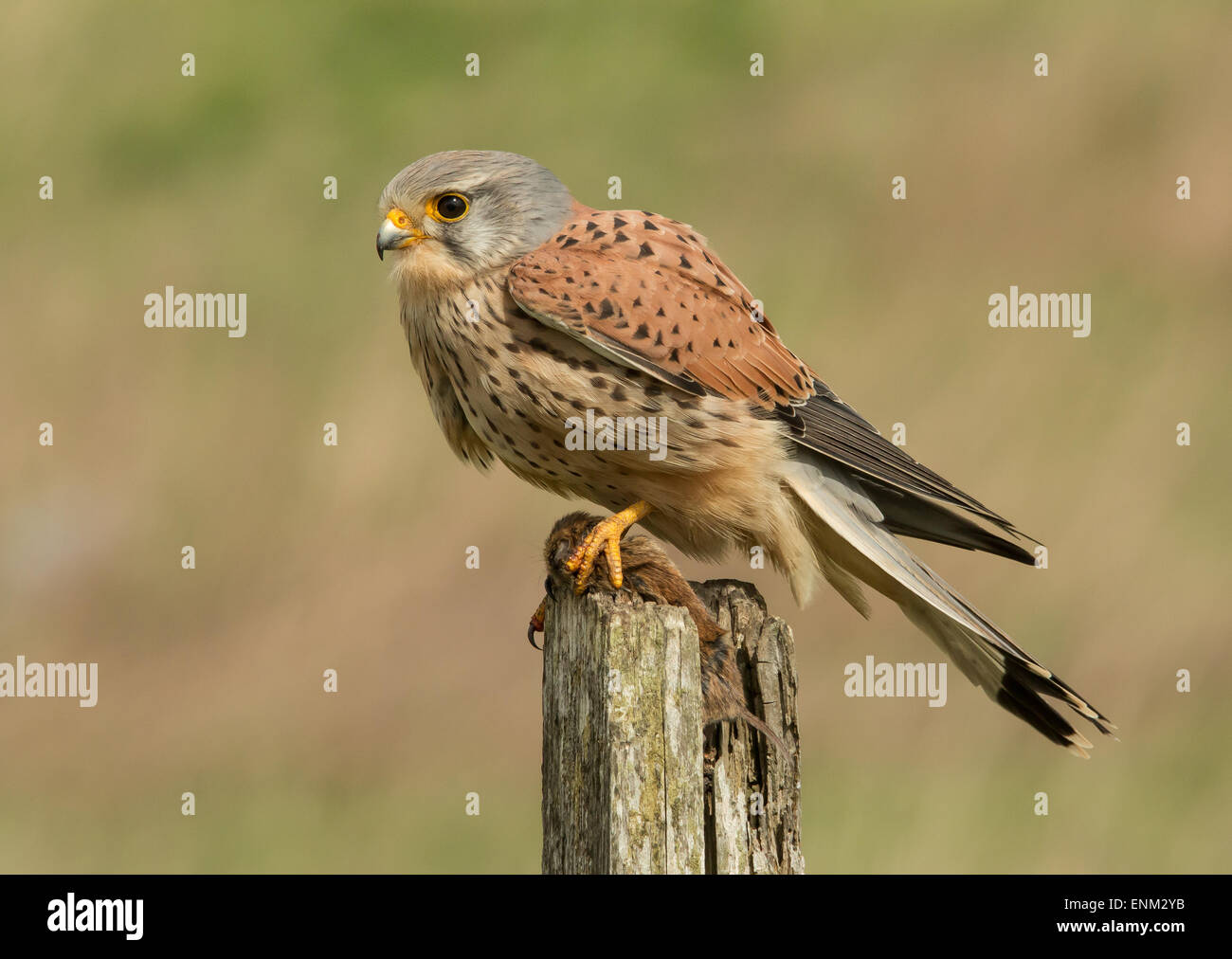 kestrel male with vole - Stock Image