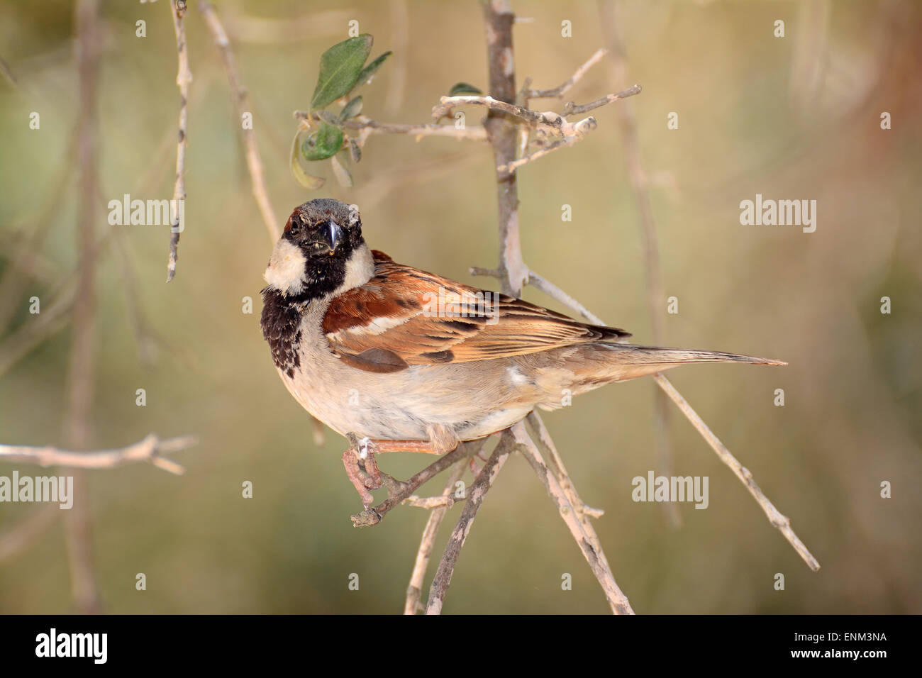 House sparrow on branch - Stock Image