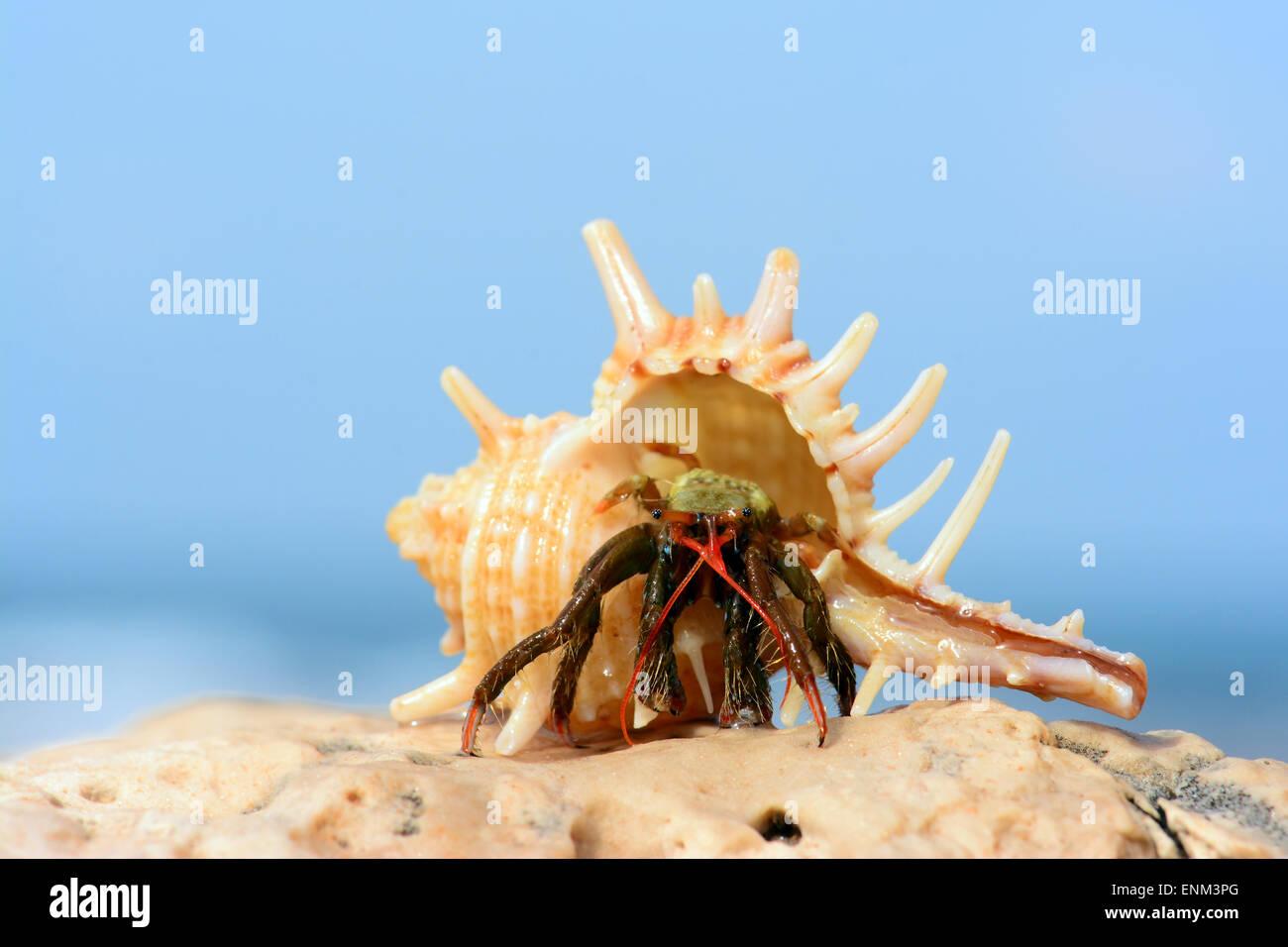 hermit crab walking on a rock - Stock Image