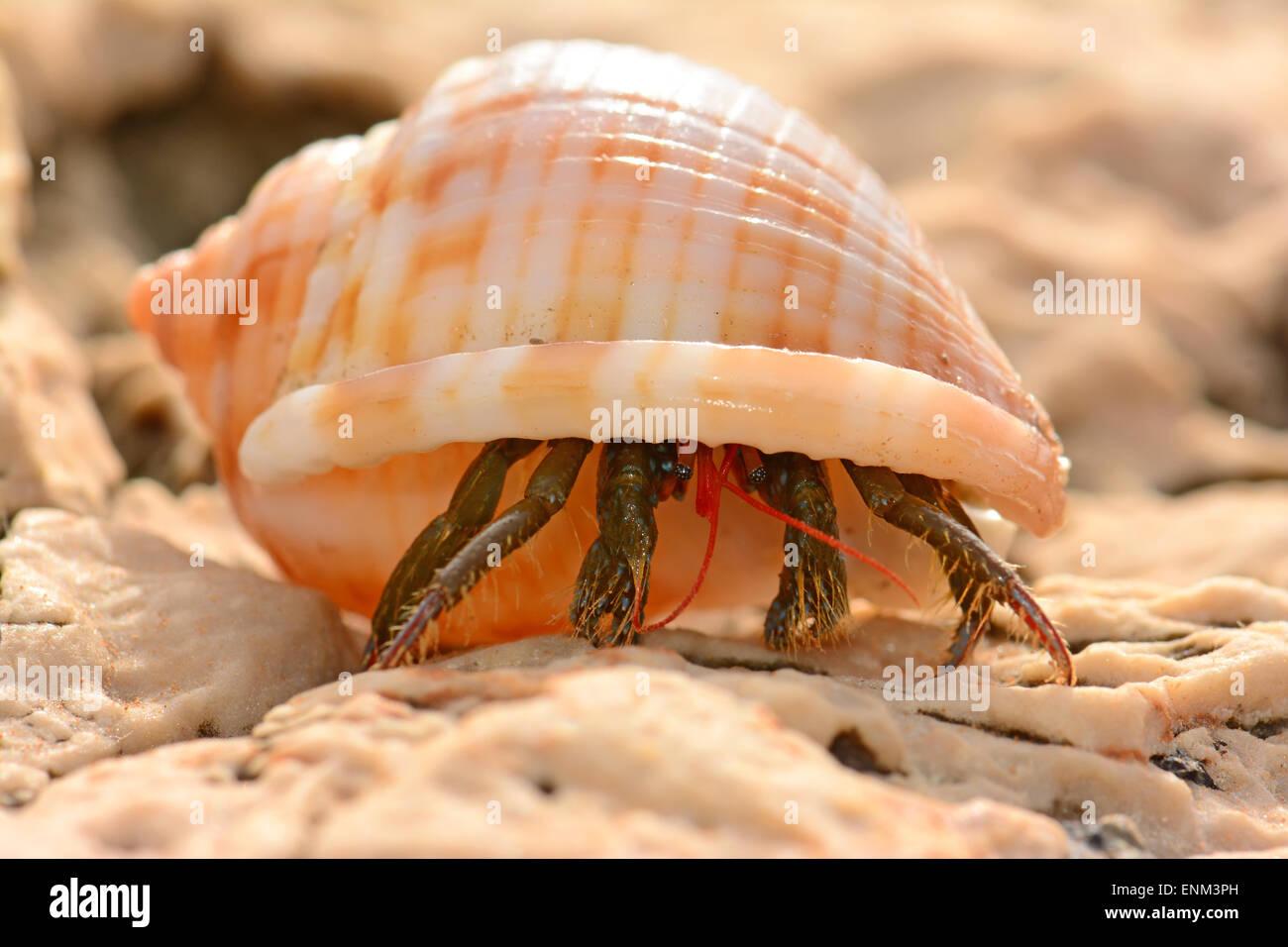 hermit crab walking - Stock Image