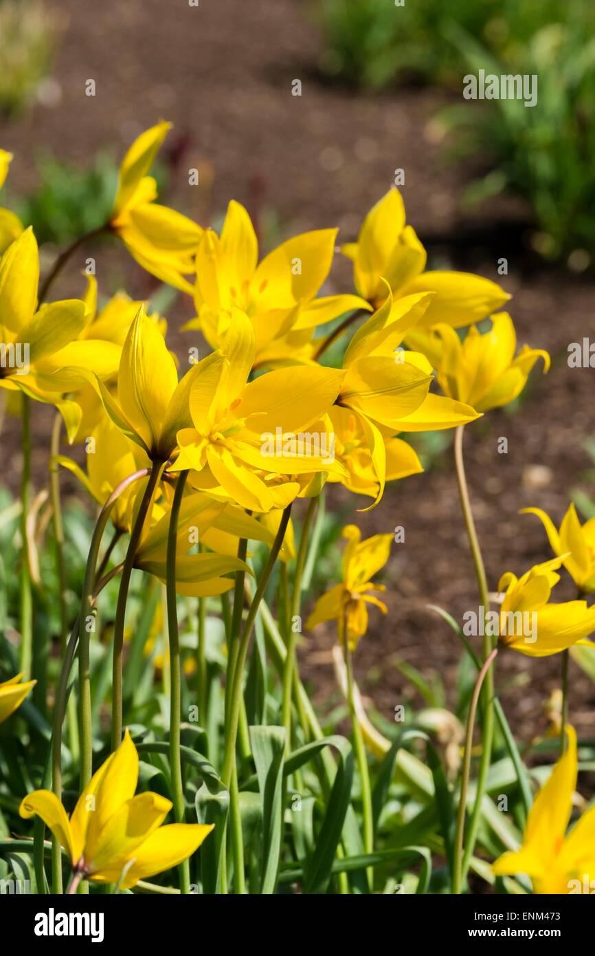 Wild Tulip - Tulipa sylvestris. - Stock Image