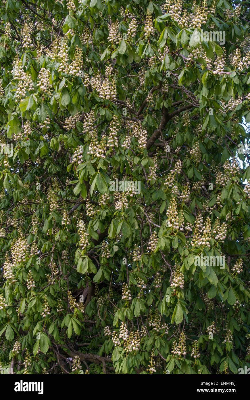 Horse chestnut tree - Aesculus hippocastanum.Showing flower spikes - Stock Image