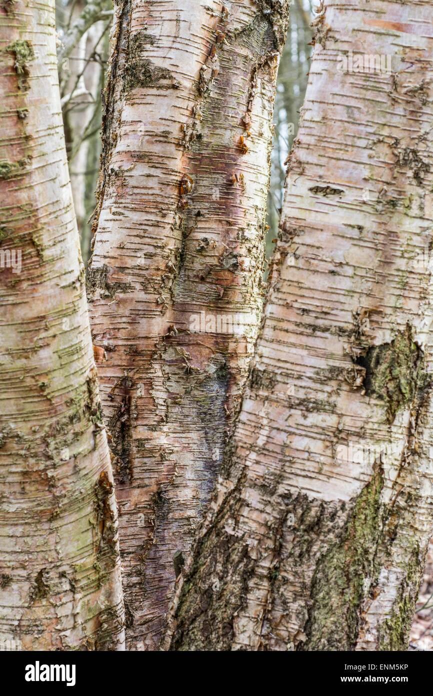 Silver birch, Betula pendula, mature tree, trunk - Stock Image