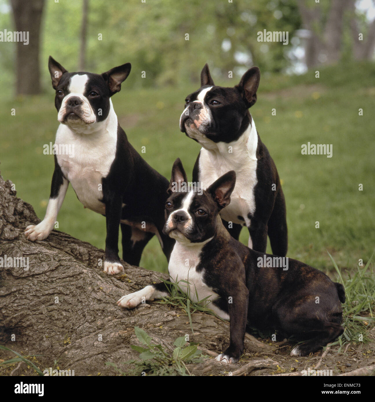 3 Boston terriers on a big tree root, one is lying the two others standing on the root, all of them have an attentive - Stock Image
