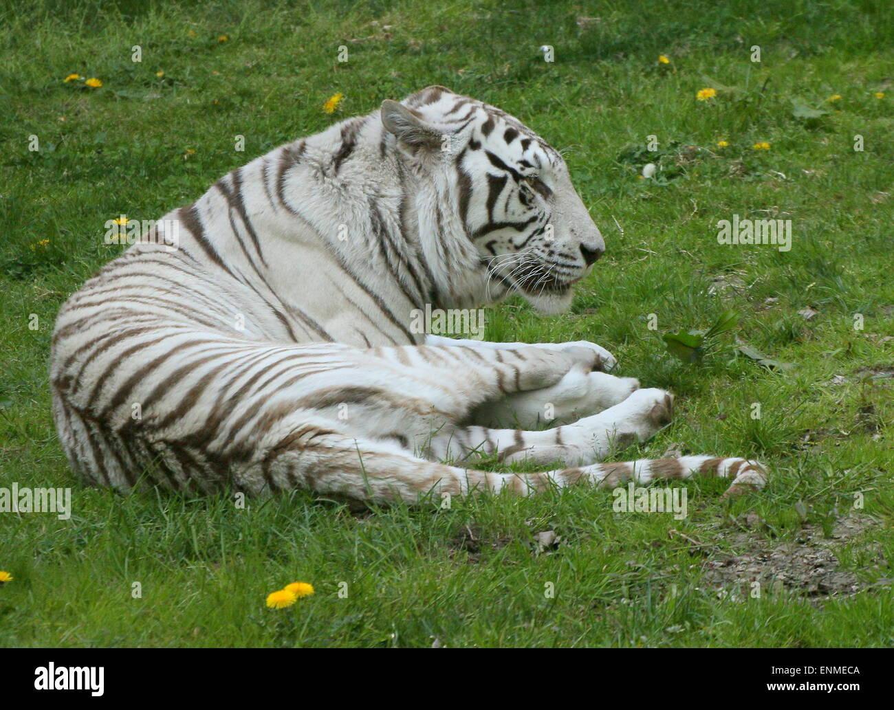 Male White Bengal tiger (Panthera tigris tigris) - Stock Image