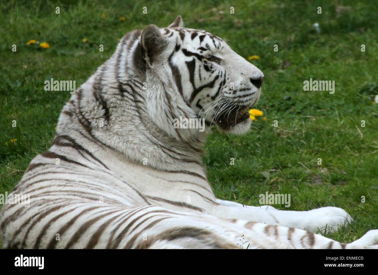 Female White Bengal tiger (Panthera tigris tigris) lying in the grass - Stock Image