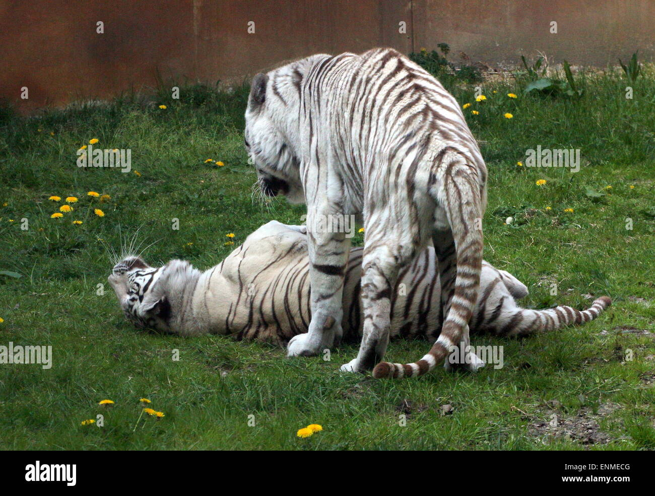Frisky male and female White Bengal tiger (Panthera tigris tigris) at Ouwehand Zoo, Rhenen, The Netherlands - Stock Image
