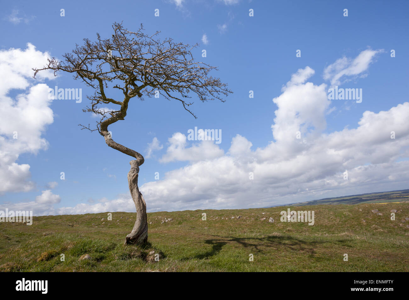 Twisted hawthorn tree in the sunshine on a bright Spring day with blue skies and little fluffy white clouds - Stock Image