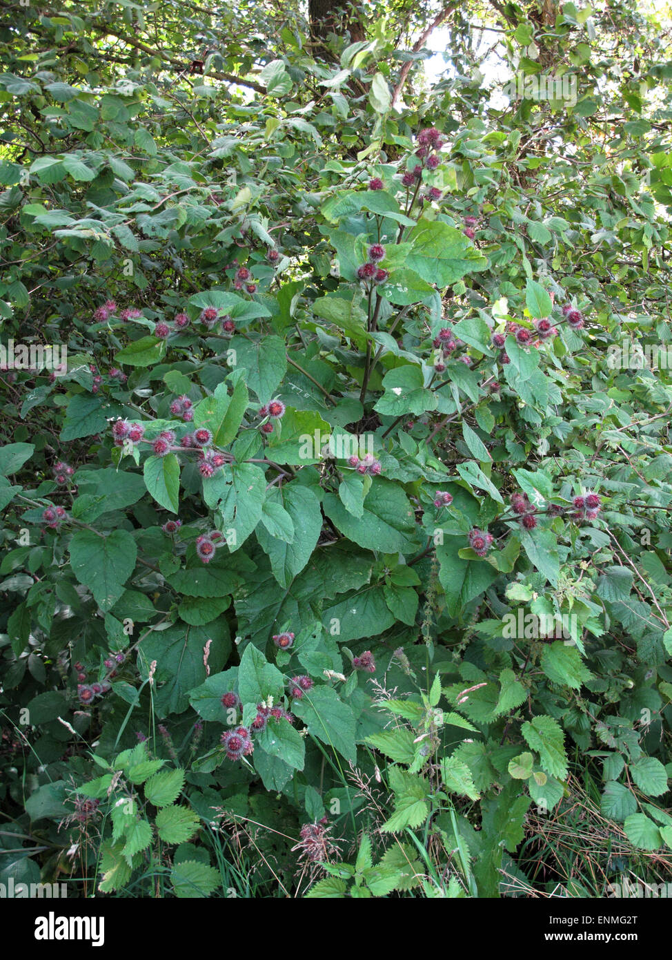 Lesser burdock, Arctium minus, flowering plant in woodland edge, Berkshire, July - Stock Image