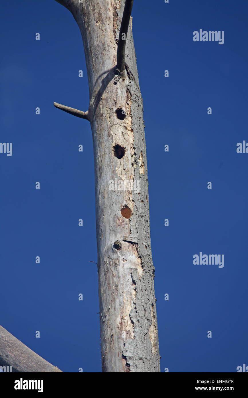 An old dead tree trunk that has been made a home to a woodpecker with a new hole being made for another nest. - Stock Image