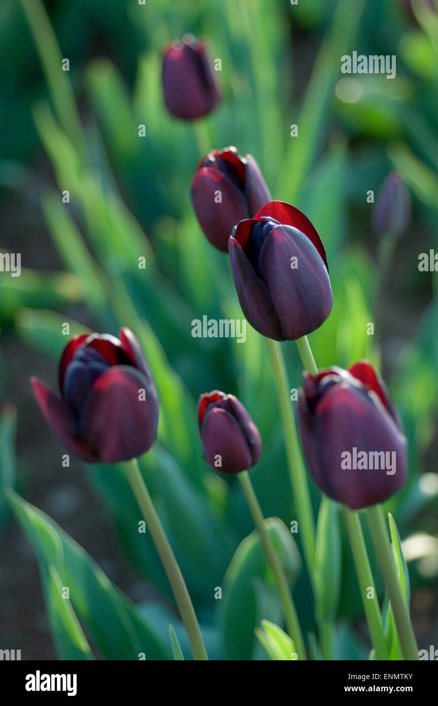 dark purple tulips in spring stock photo 82207663 alamy