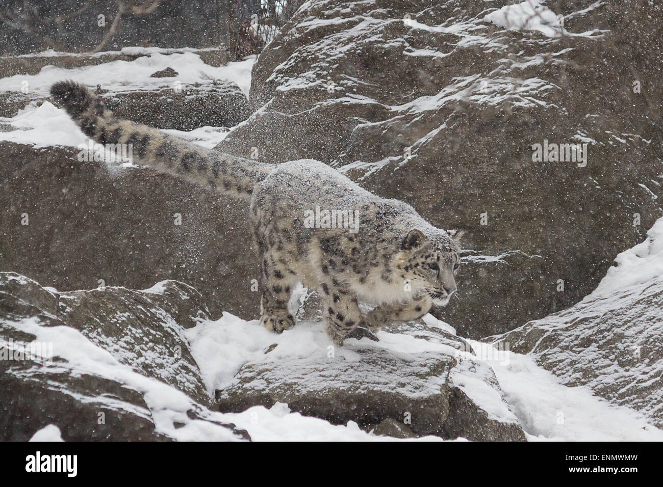 Snow Leopard- A young snow leopard takes a leap from a rock onto an unexpecting fellow snow leopard - Stock Image