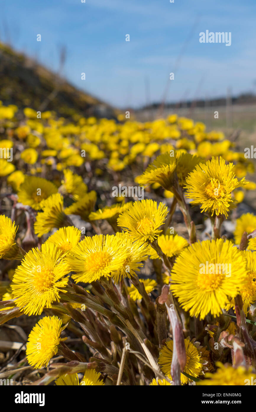 Coltsfoot (Tussilago farfara) Stock Photo