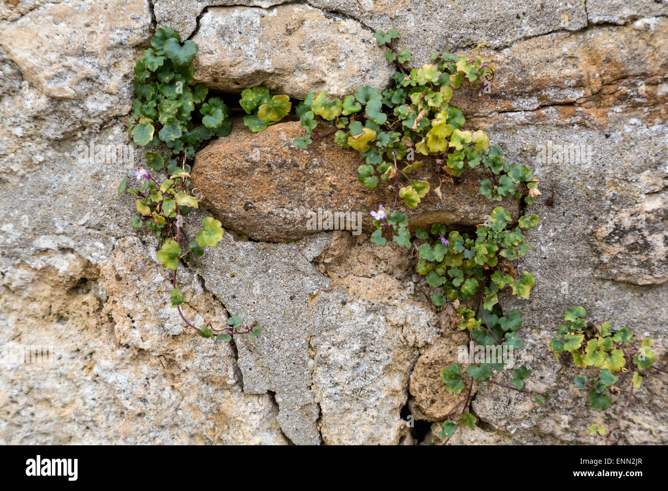 UK, England, Oxford.  Historic Preservation.  Weeds grow in cracks in town walls, loosening mortar and undermining - Stock Image