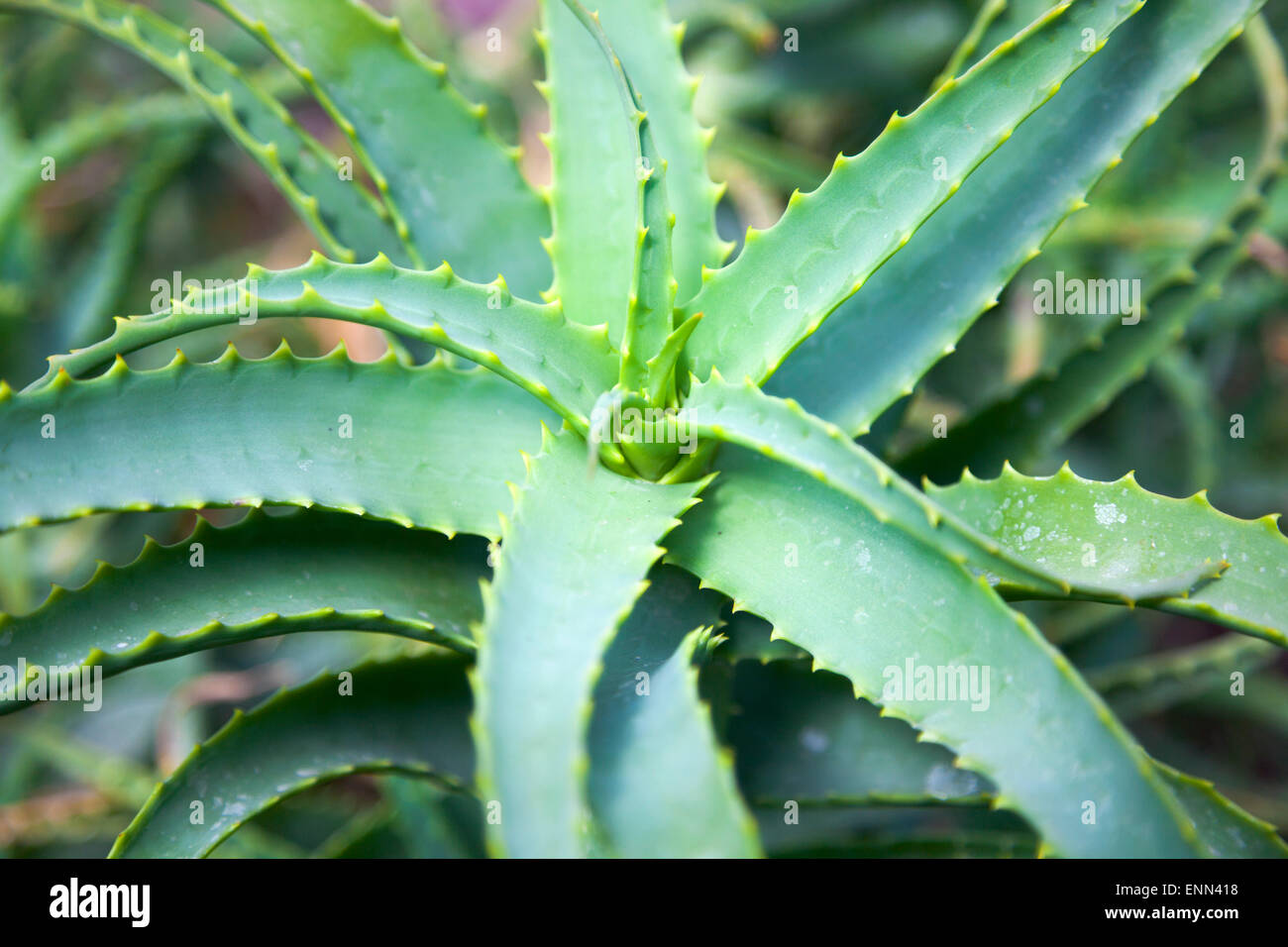 Aloe Vera And Cactus High Resolution Stock Photography And Images Alamy