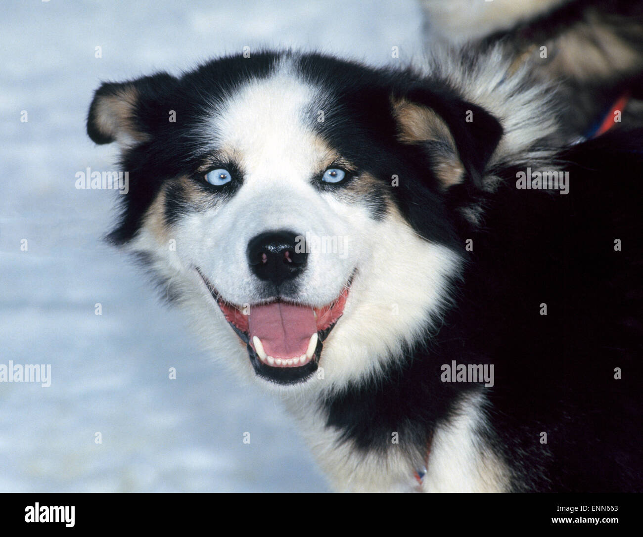 A blue-eyed Alaskan husky is eager to join his sled dog team that practices for the Iditarod and other races over - Stock Image
