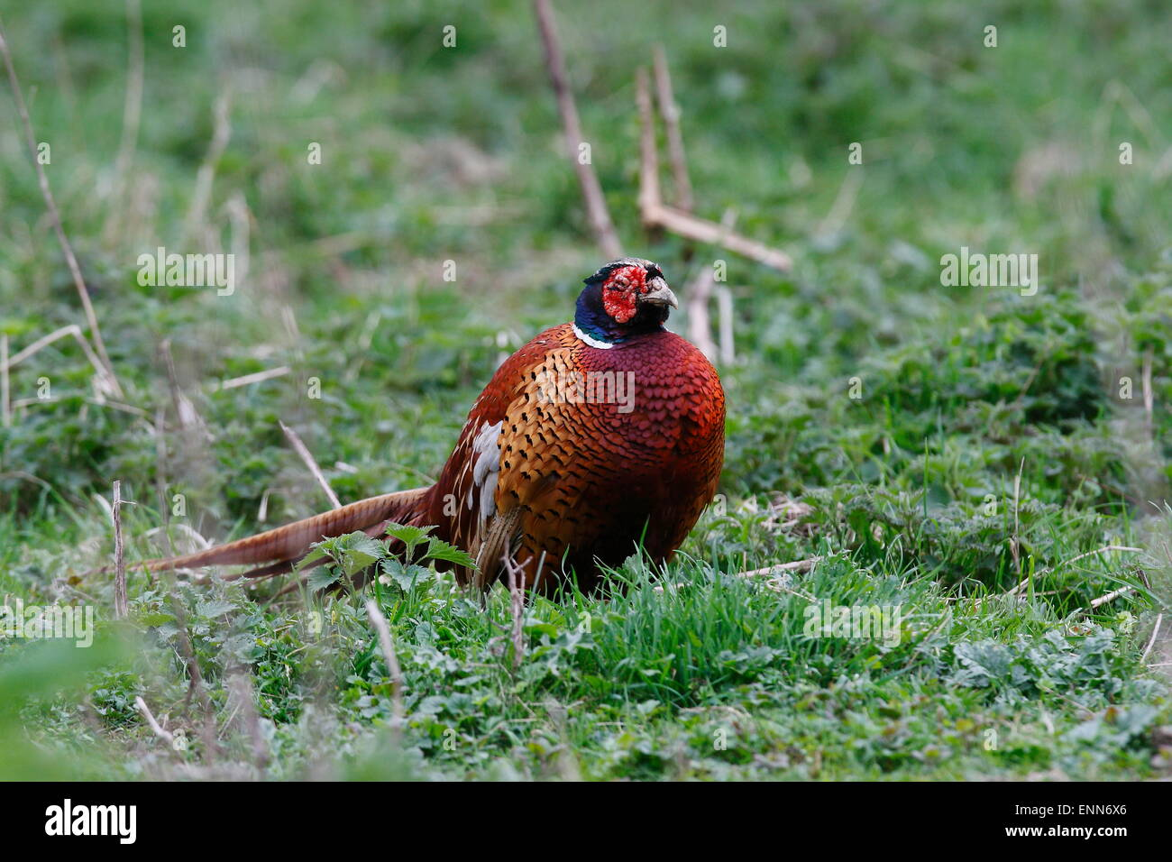 Male Pheasant with facial disfigurement - Stock Image