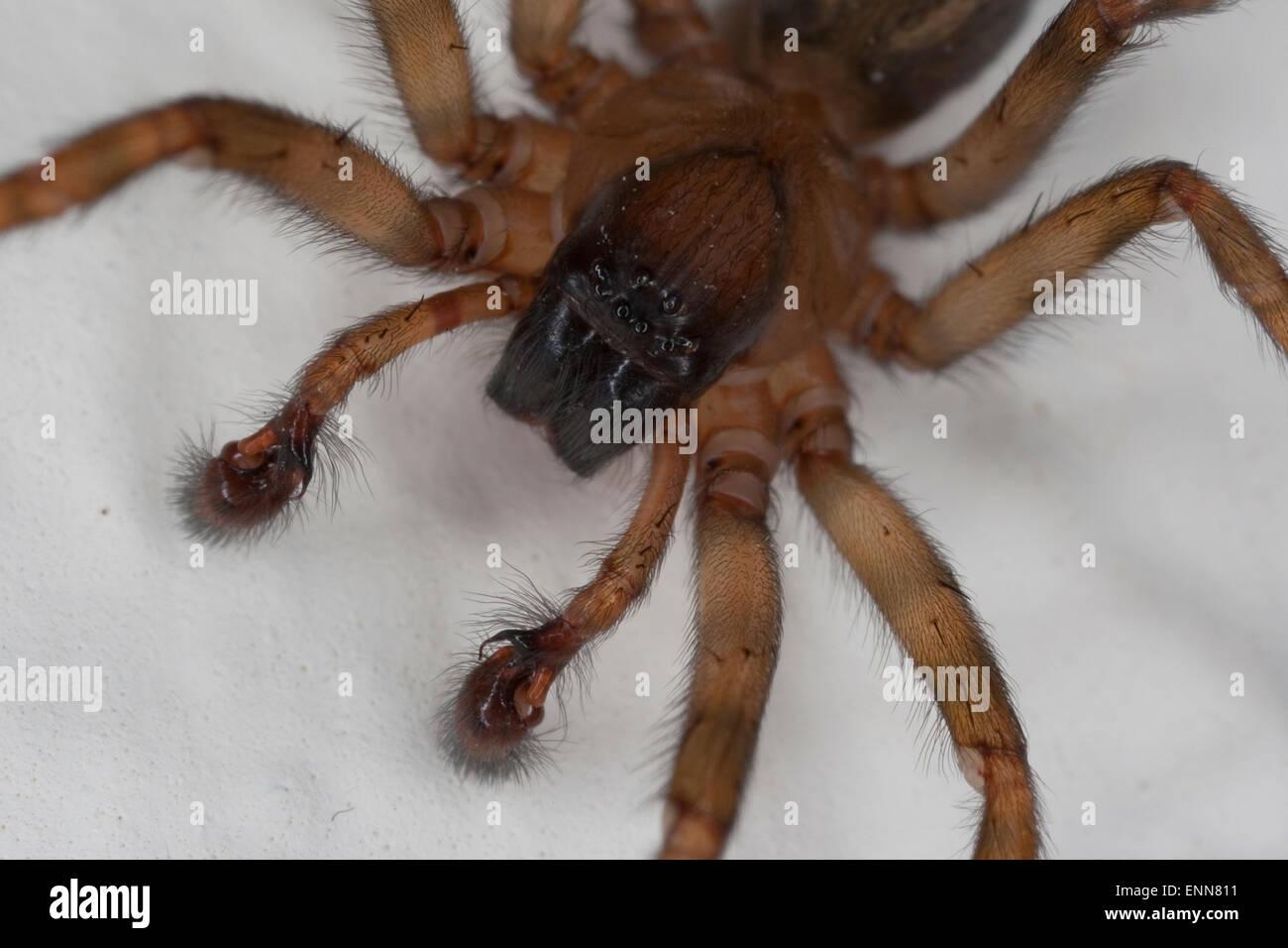 Lace weaver spider, House spider, male, Fensterspinne, Finsterspinne, Kellerspinne, Portrait, Männchen, Amaurobius - Stock Image