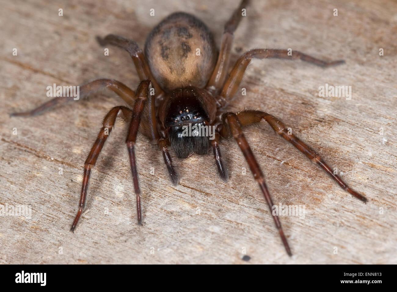 Lace weaver spider, House spider, female, Fensterspinne, Finsterspinne, Kellerspinne, Weibchen, Amaurobius similis - Stock Image