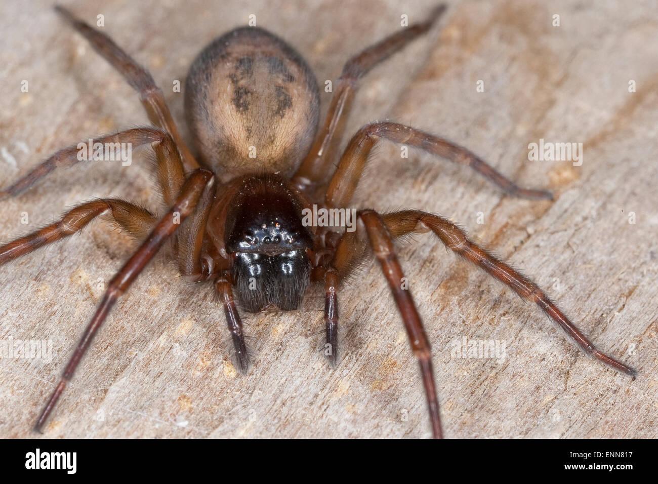 Lace weaver spider, House spider, female, Fensterspinne, Finsterspinne, Kellerspinne, Portrait, Weibchen, Amaurobius - Stock Image