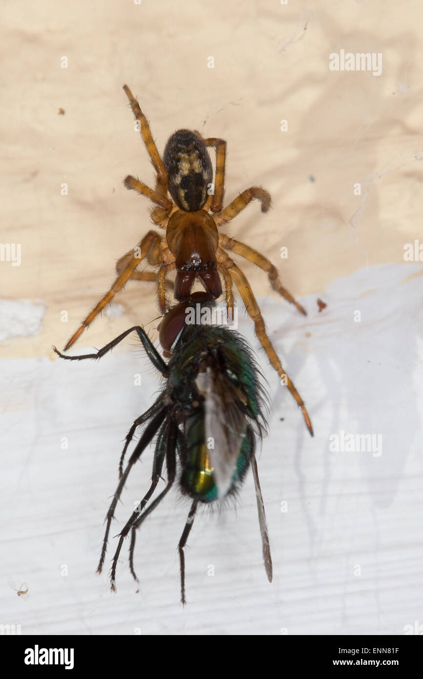 Lace weaver spider, House spider, female, Fensterspinne, Finsterspinne, Kellerspinne, Weibchen mit Beute, Amaurobius - Stock Image