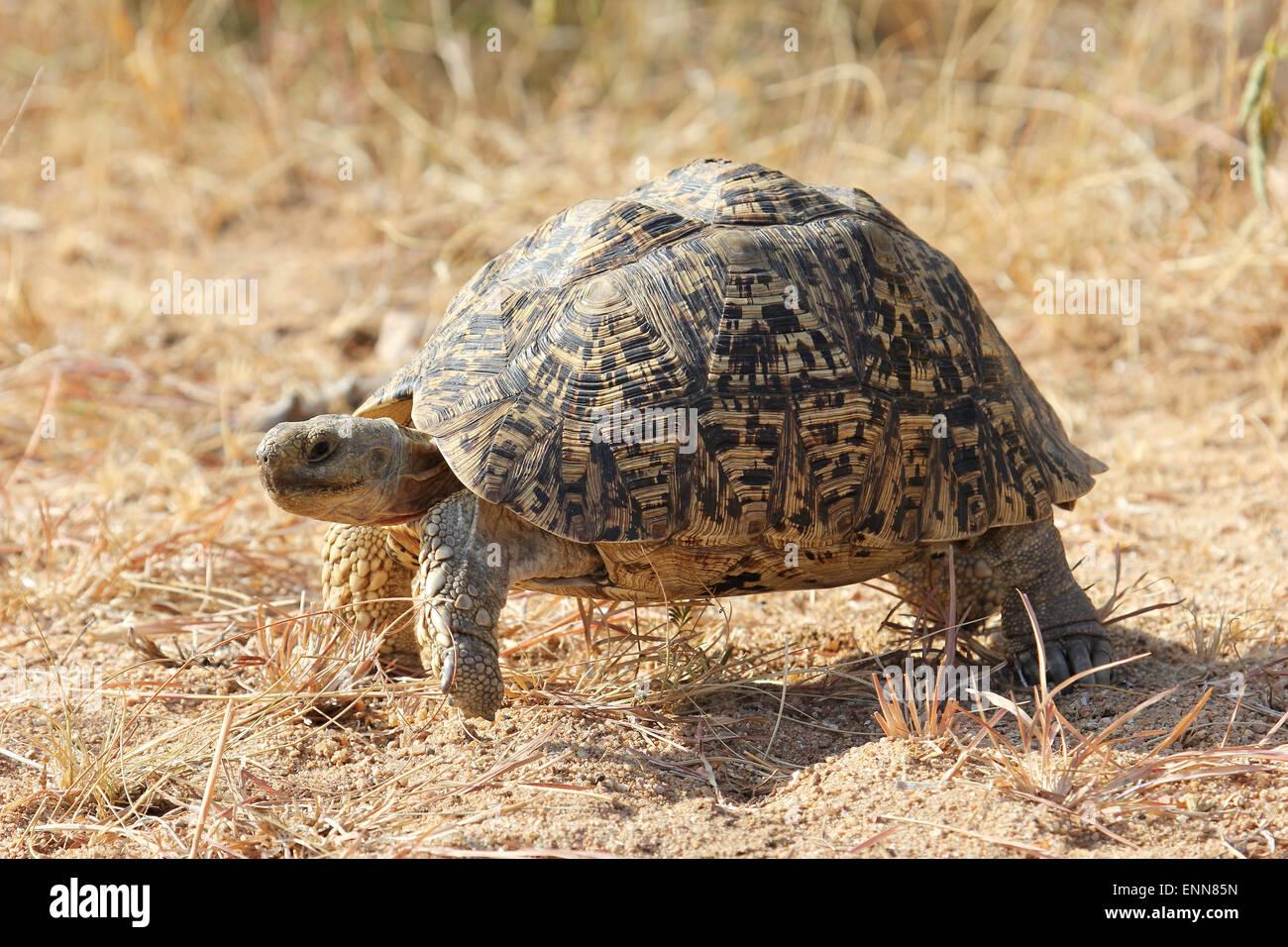 Leopard Tortoise on the move Stock Photo