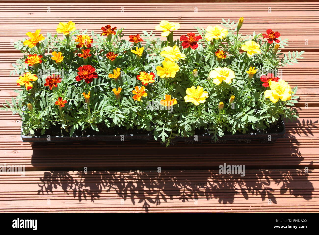 Marigold flowering plants in black container Stock Photo