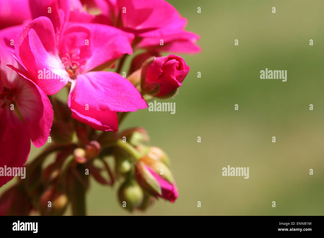 Pink geranium flowers and buds in summer season Stock Photo