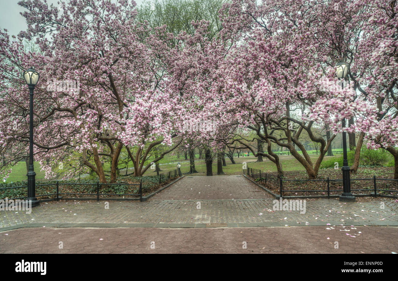 Magnolia Trees In Spring Central Park New York City Stock Photo