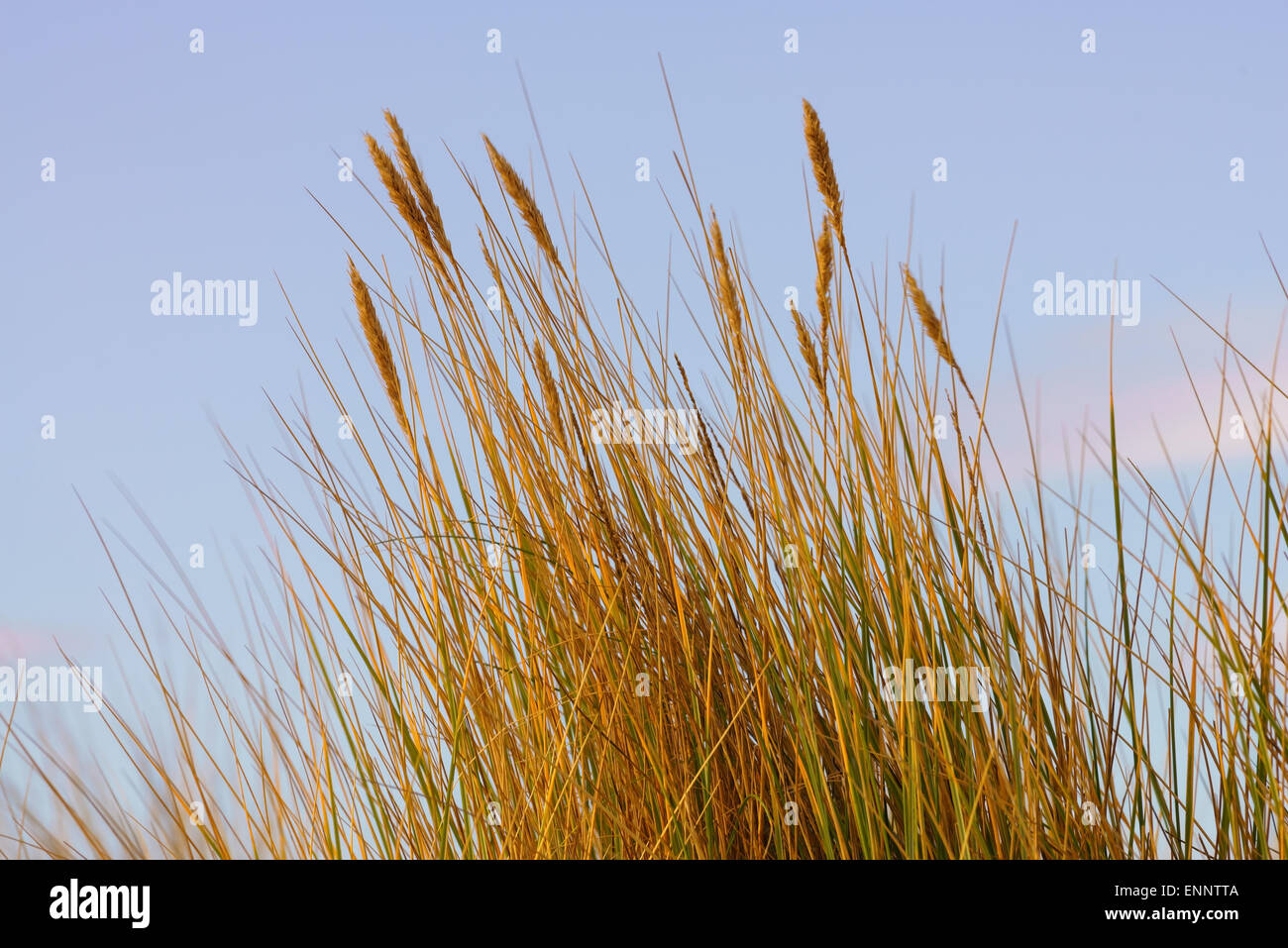 Marram grass seed heads on sand dunes in Scotland. - Stock Image