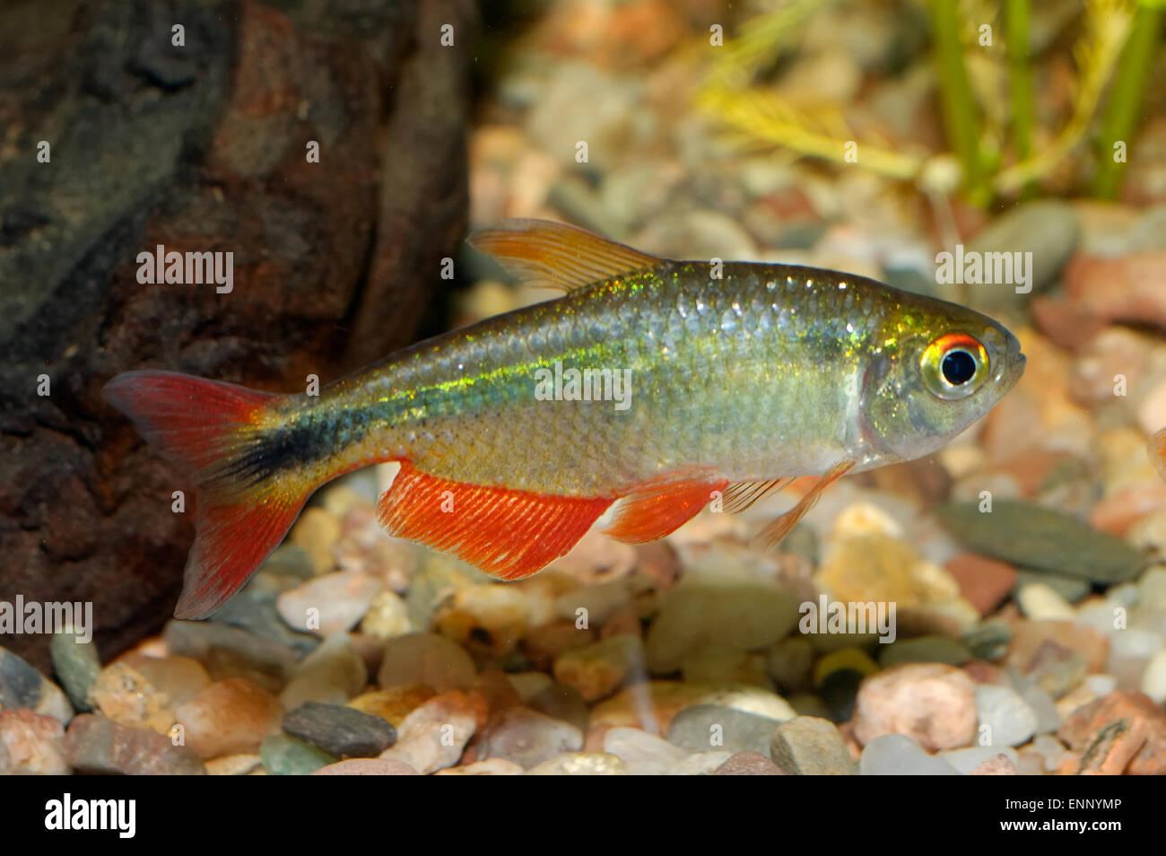 Aquarium fish from genus Astyanax. - Stock Image
