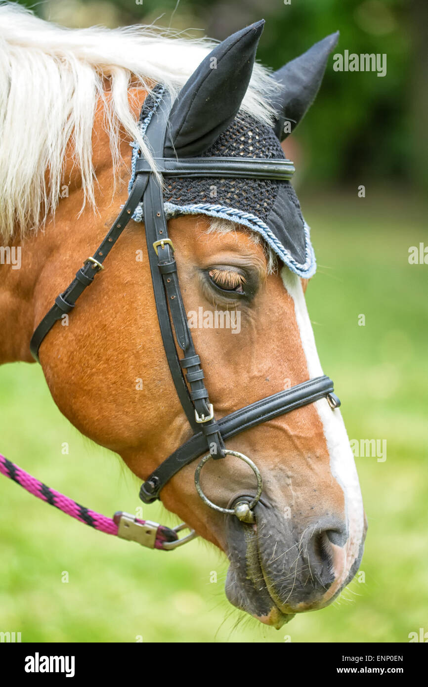Detailed brown horse portrait with black ears. - Stock Image
