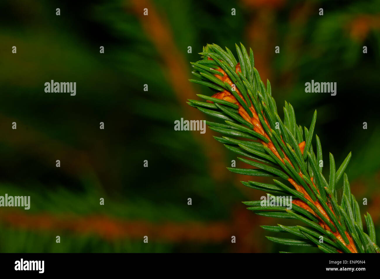 Coniferous twig with nice blurred twigs in the background. - Stock Image