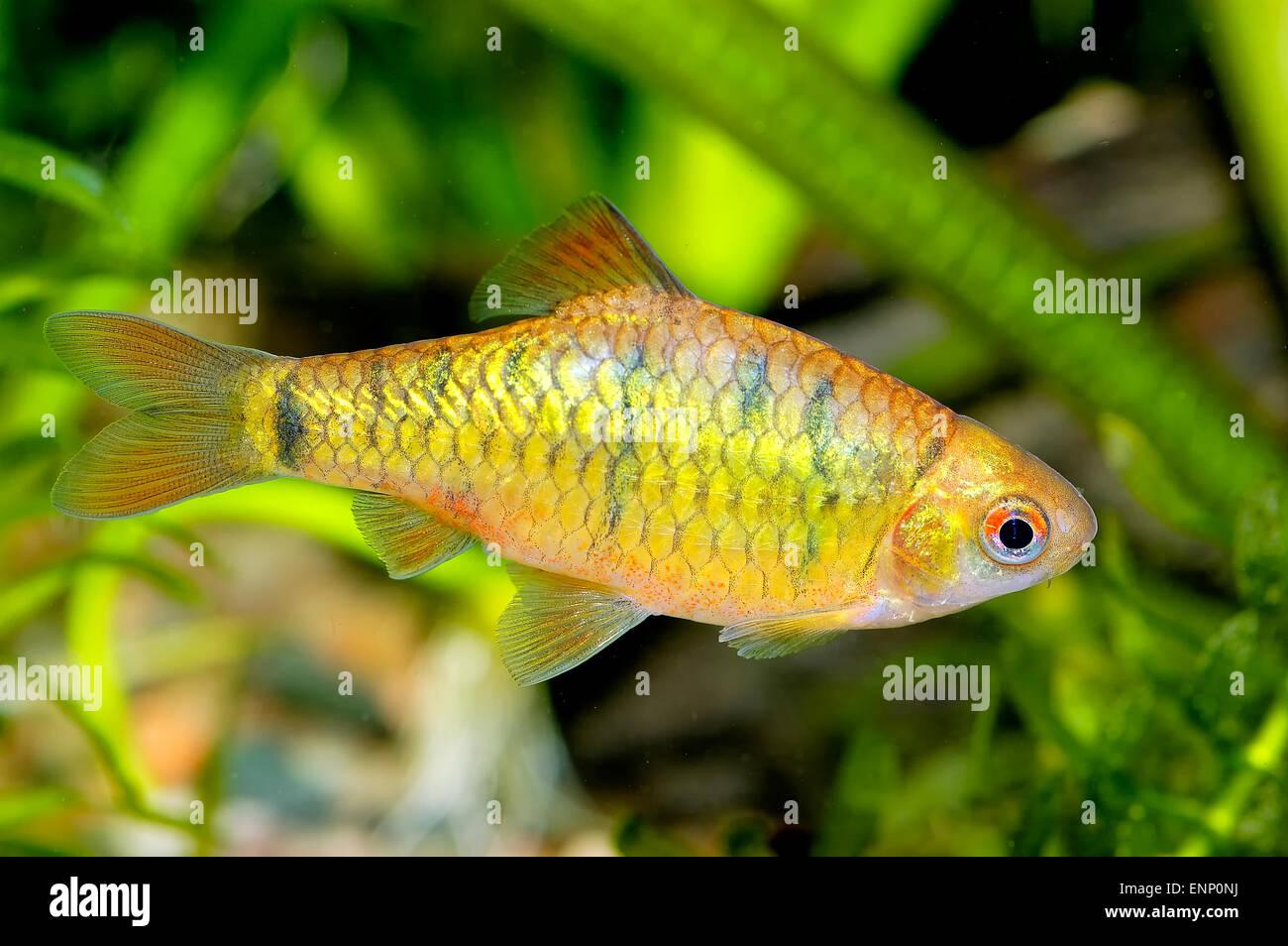 Tropical Freshwater Aquarium Fish From Stock Photos & Tropical ...