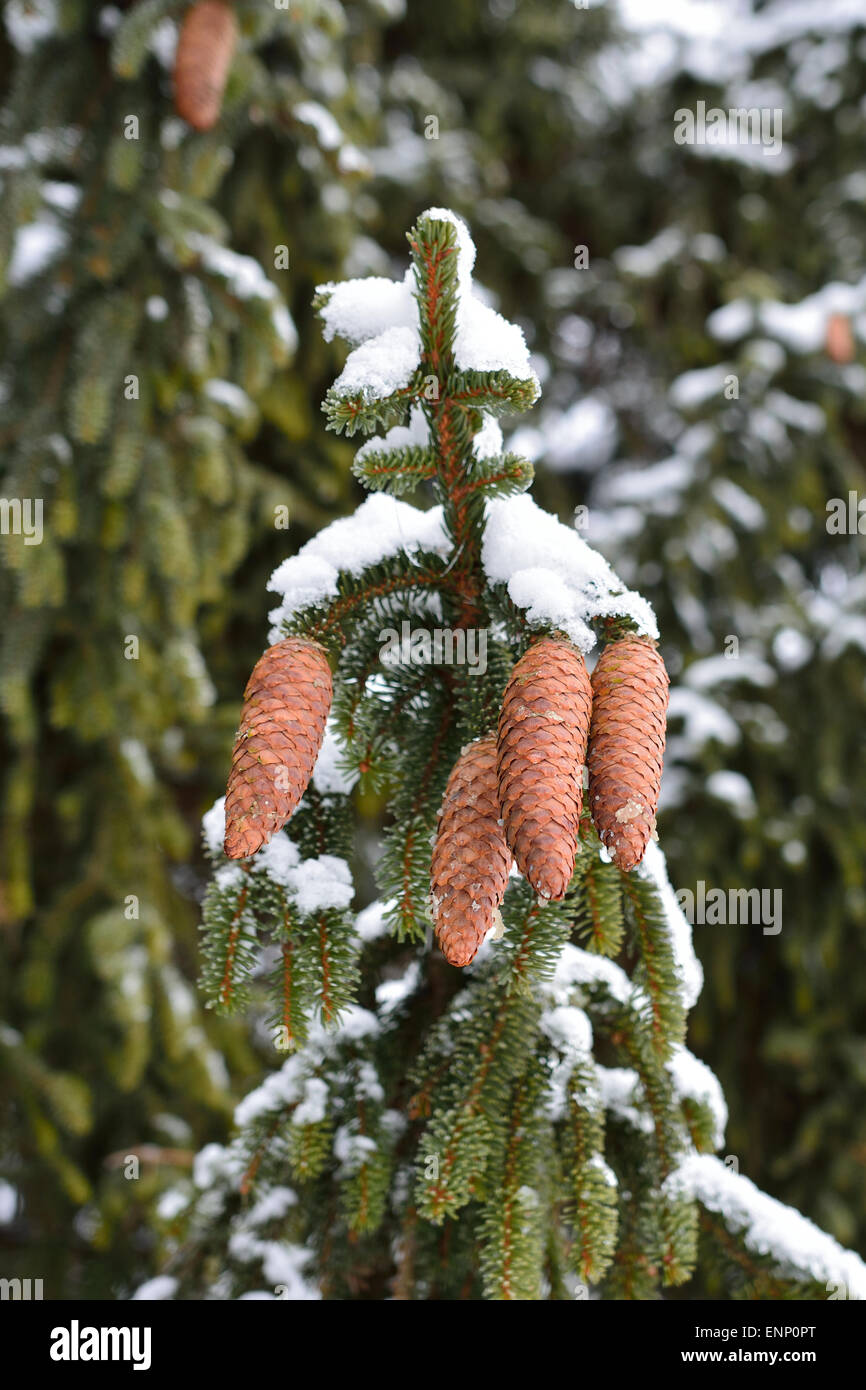 Four nice pinecones on a tree snowy twig. - Stock Image