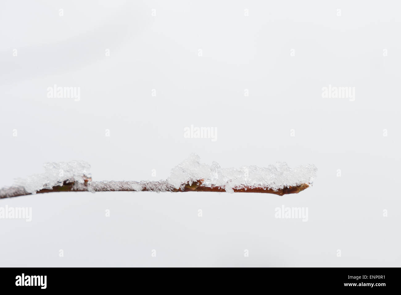Nice frost twig on the white background. - Stock Image