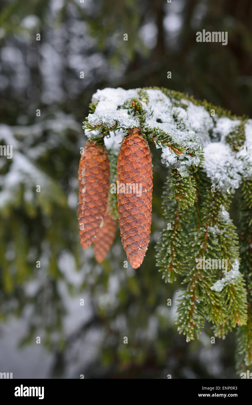 Three nice pinecones on a tree snowy twig. - Stock Image