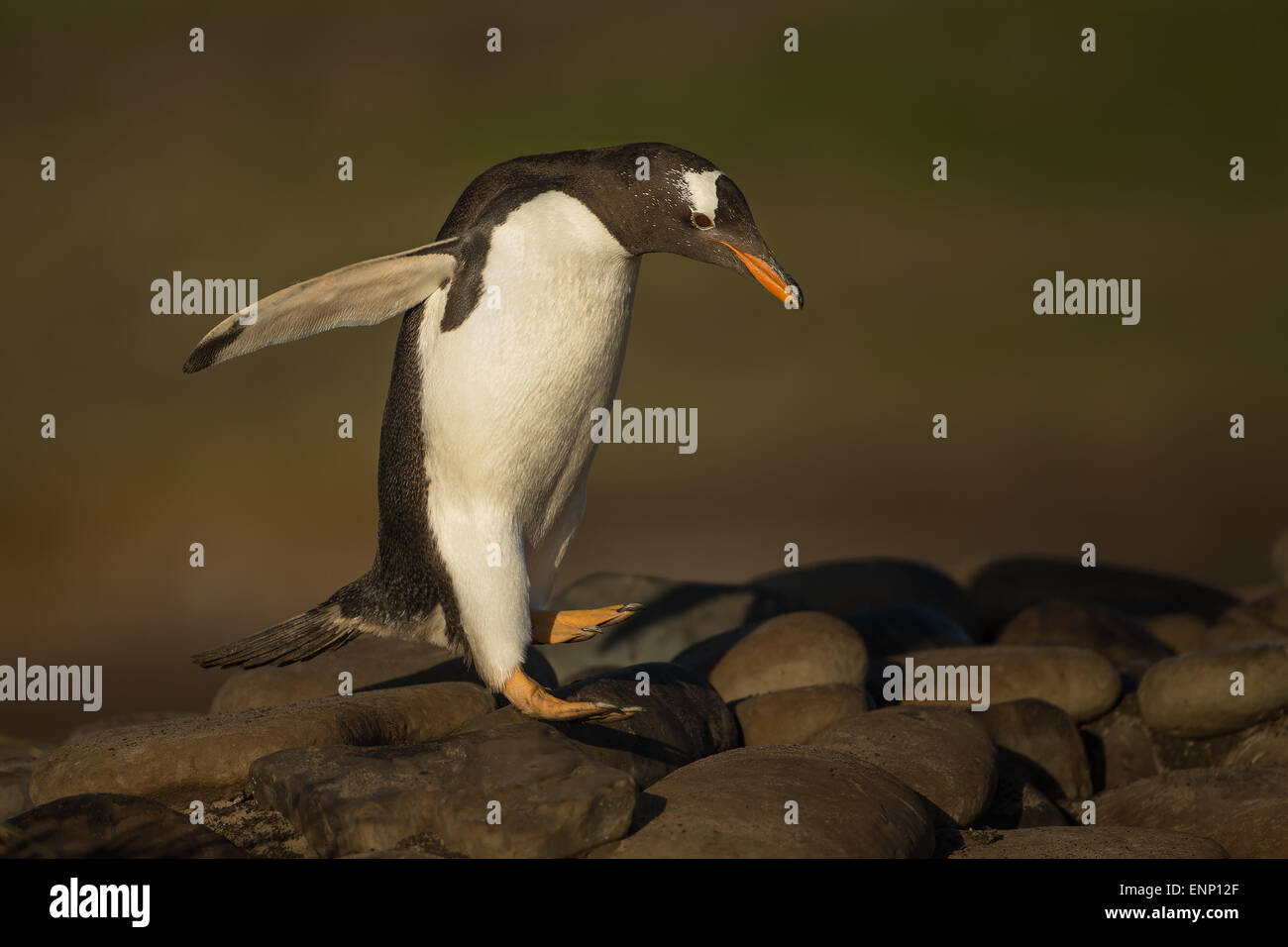 Gentoo penguin hopping on stones, Falkland islands - Stock Image