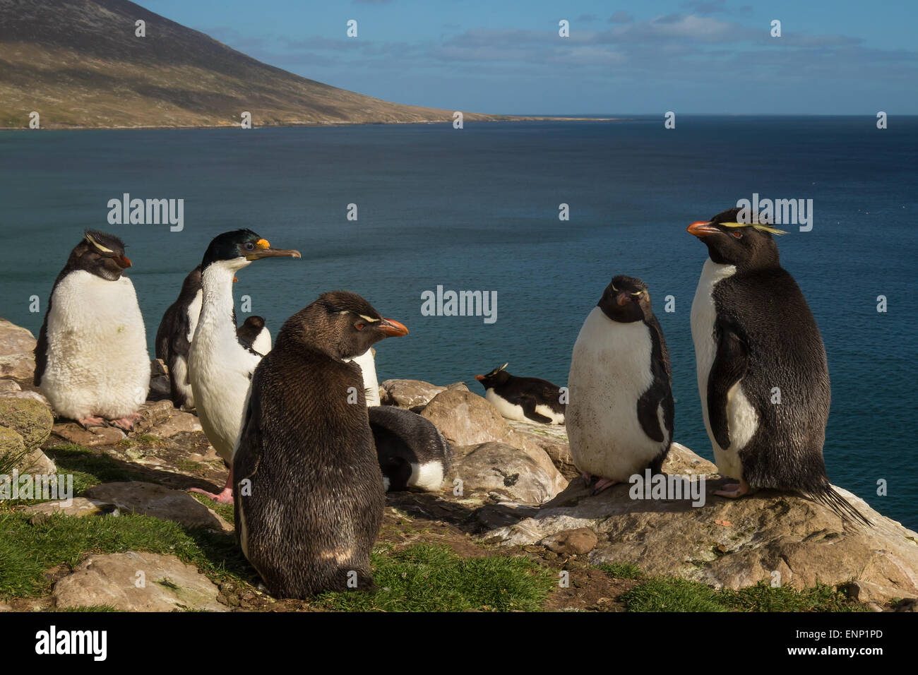 Adult Southern rockhopper penguin Eudyptes chrysocome in the rookery Falkland islands - Stock Image