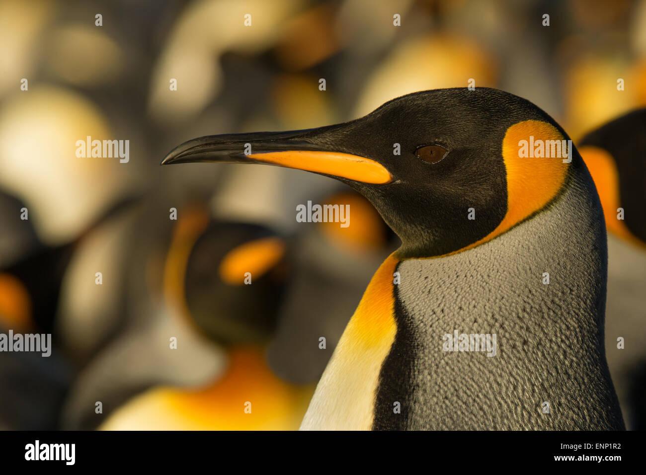 Close-up of adult King penguin, Falkland islands - Stock Image