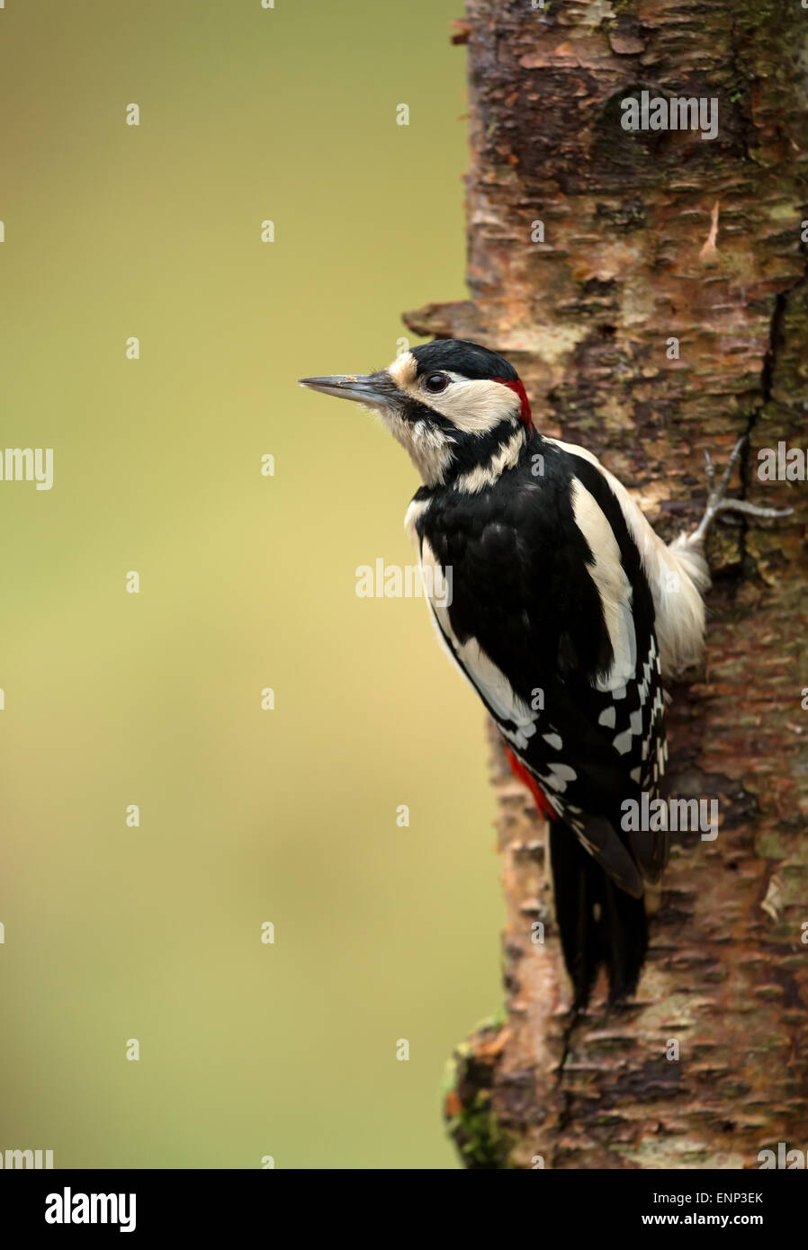 Male Great Spotted Woodpecker Dendrocopos major clinging to a tree trunk - Stock Image