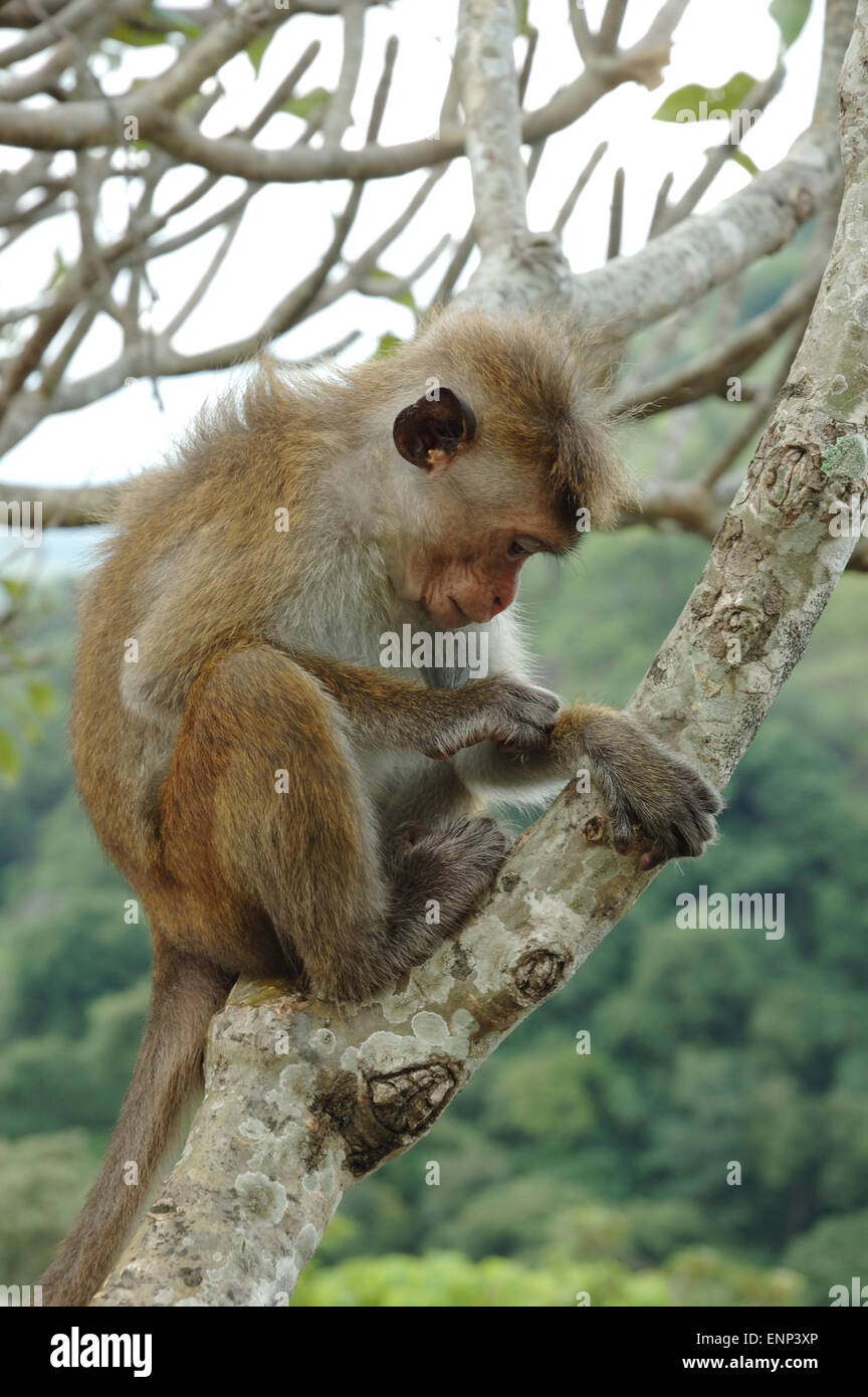 Bonnet Macaque (Macaca radiata) in tropical forests of South-eastern Asia - Stock Image