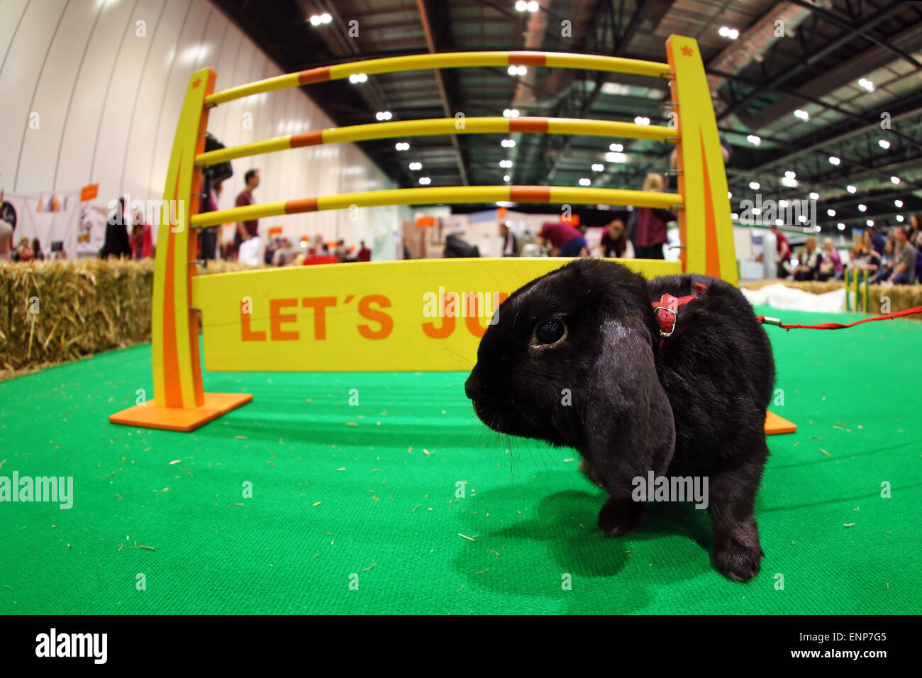 London, UK. 9th May 2015. Showjumping rabbits from Sweden at the London Pet Show 2015 at Excel, London, England - Stock Image